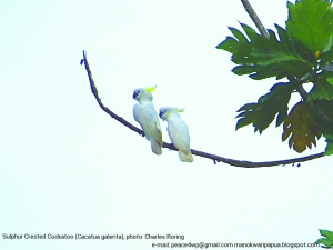 white-cockatoo-in-manokwari-forest